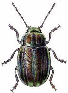 Rainbow_Leaf_Beetle